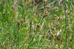 Carex praecox